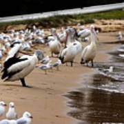 Pelicans At Pearl Beach 1.0 Poster