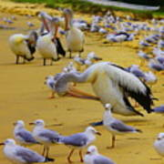 Pelicans At Pearl Beach 3.1 Poster