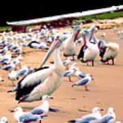 Pelicans At Pearl Beach 4.0 Poster