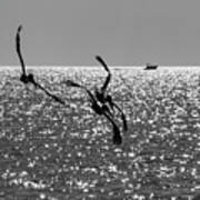 Pelicans Flying By - Black And White Poster