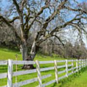 Penn Valley Tree Poster
