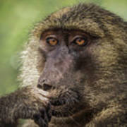 Pensive Baboon Poster