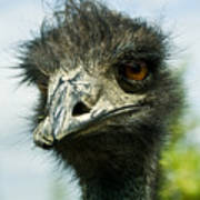 Pensive Ostrich Poster