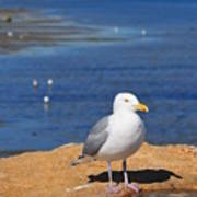 Pensive Seagull Poster