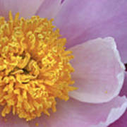Peonie Yellow Center Poster