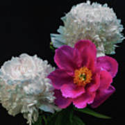 Peonies - Beautiful Flowers - On The Right Is One Of The First Places Among The Garden Perennials Poster