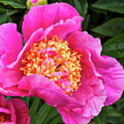 Peony At Bourne Farm Poster