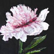 Peony Bloom Poster