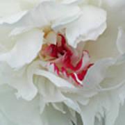 Peony Poster by Jim Wright