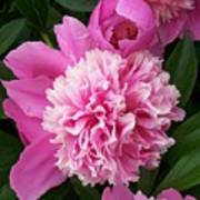 Peony With Ant Poster