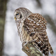 Perched Barred Owl Poster