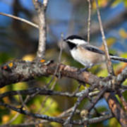 Perched Black-capped Chickadee Poster