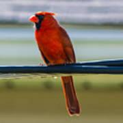 Perched Cardinal Poster