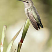 Perched Hummingbird On Flower Poster
