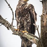 Perched Juvenile Eagle Poster