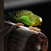 Perched Parakeet Poster