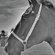 Percheron Profile Poster