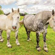Percherons Horses Poster