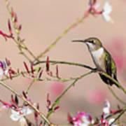 Perching Ruby-throated Hummingbird Poster