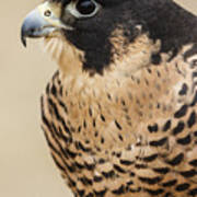 Peregrine Poster
