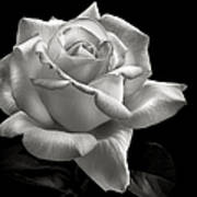 Perfect Rose In Black And White Poster