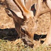 Persian Fallow Deer Poster
