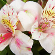 Peruvian Lilies  Flowers White And Pink Color Print Poster
