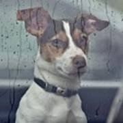 Pet Looking Out Car Window On Rainy Day Poster
