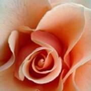 Petal Of Rose Poster