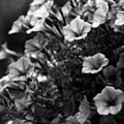 Petunias 1 Black And White Poster