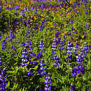 Phacelia Poppies Lupines Poster