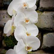 Phalaenopsis Brother White Windian Poster