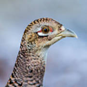 Pheasant Hen Poster