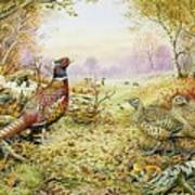 Pheasants In Woodland Poster