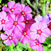 Phlox Beside The Road Poster
