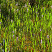 Pickerelweed Poster