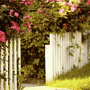 Picket Fence Roses Poster
