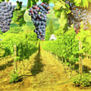 Picturesque Vineyard At Sunset Poster
