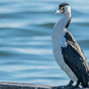 Pied Cormorant On Old Wharf Poster