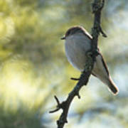 Pied Flycatcher 1 Poster