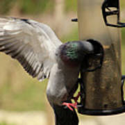 Pigeon And Feeder Wings Spread Poster