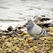 Pigeon Close To The River Poster