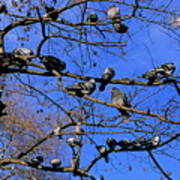 Pigeons Perching In A Tree Together Poster