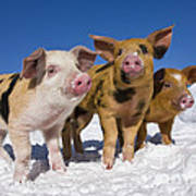 Piglets In Snow Poster