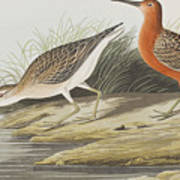 Pigmy Curlew Poster