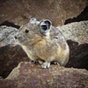 Pika - Weminuche Wilderness - Colorado Poster