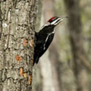 Pileated About To Take Flight Poster