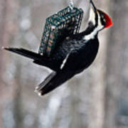 Pileated Billed Woodpecker Feeding 1 Poster