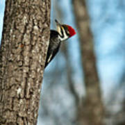 Pileated Billed Woodpecker Pecking 2 Poster