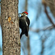 Pileated Billed Woodpecker Pecking 3 Poster